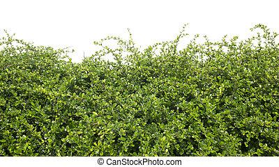 verde, arbusto, isolado