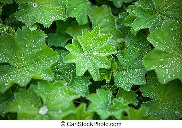 verde, astilboides, folhas, sombrio, canteiro flores, com,...