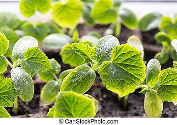 verde, bandeja., pepino, seedling