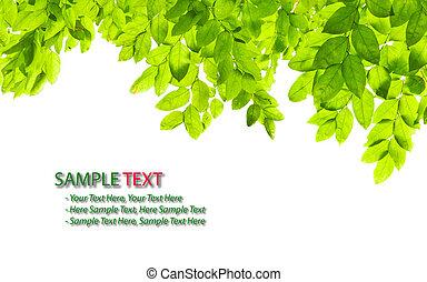 verde blanco, hoja, aislado, plano de fondo