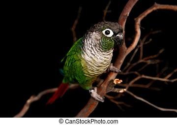 verde, bochecha, conure, ligado, um, filial árvore