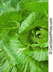 verde, cabeza de col