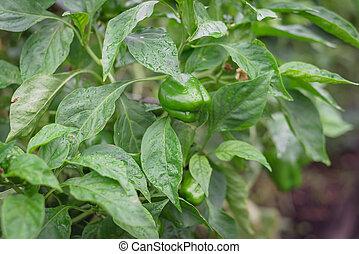verde, campana, cosecha, pimientas, orgánico, agua, flor, ...