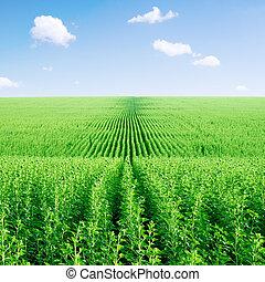 verde, campo girasol, y, sky.