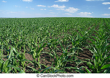 verde, campo maíz
