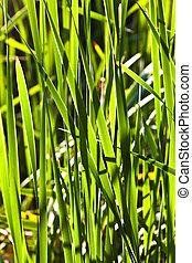 verde, cana, em, a, lago
