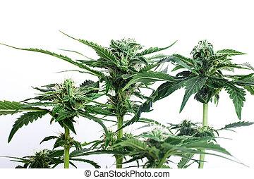 verde, cannabis, experiência., fresco, brotos, florescer, branca, bush, planta marijuana