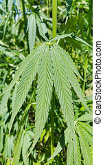 verde, cannabis, marijuana), foliage, fresco, (hemp, planta