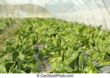 verde, chard, cultivo, em, um, hothouse, campo