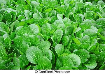 verde, choy, suma, en, crecimiento