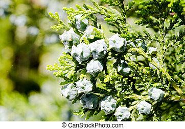 verde, ciprés, árbol, conos, fresco