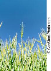 verde, colheita, sob, profundo, céu azul
