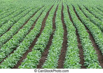 verde, cultivado, haba de soja, campo, en, temprano, verano