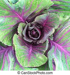 Viola Verdura Cavolo Verde Viola Campo Sfondo Verde Verdura