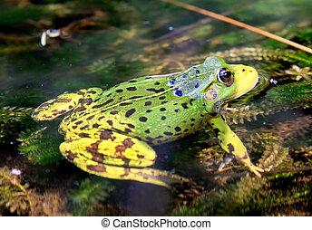 verde, europeo, rana, en, agua