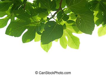 verde, fig-tree, folhas, com, ramo