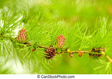 verde, fir-tree