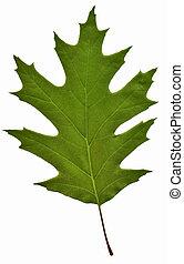 verde, folha carvalho