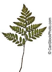 verde, folha fern, isolado, branco, fundo