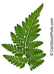 verde, folha fern, isolado