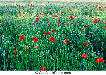 verde, fondo., natural, amapolas, rhoeas, pradera, flores,...