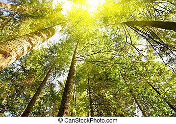 verde, foresta, alba