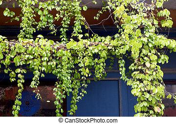 verde, hera, folha, ligado, parede