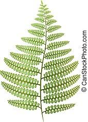 verde, hoja del fern, aislado, en, white., vector, illustration.