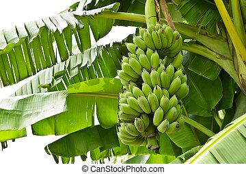 verde, jovem, banana