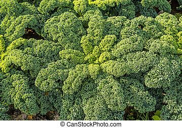 verde, kale, em, cultivo