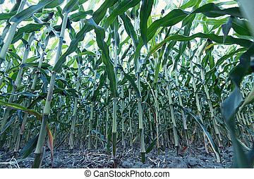 verde, maíz, field.