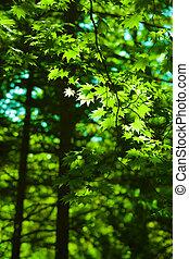 verde, maple sai, floresta, fundo