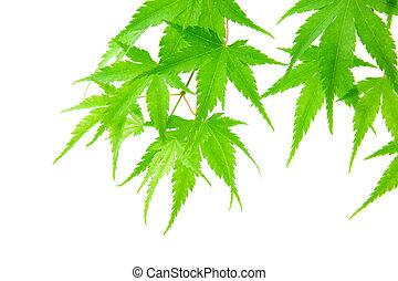 verde, maple sai, isolado, branco