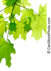 verde, maple sai, isolado