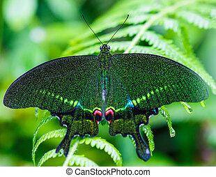 verde, mariposa, con, fondo verde, en, doi, inthanon, p...
