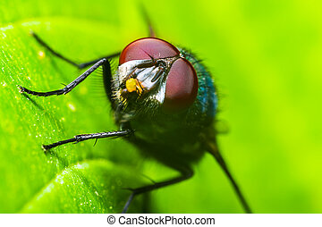 verde, mosca domestica