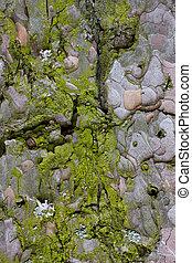 verde, musgo, en, un, árbol viejo