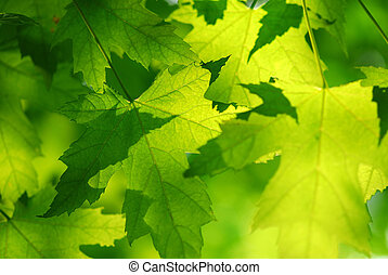verde, permisos de arce
