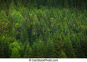 verde, picea, bosque