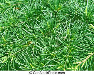 verde, pino, needle., bakground