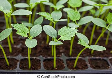 verde, planta de semillero, pepino, bandeja