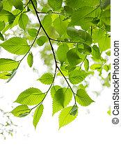 verde, primavera, folhas, branco, fundo