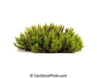 verde, primer plano, musgo, aislado, sphagnum