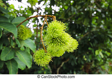 verde,  Rambutan, árvore