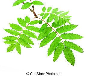 verde, ramo