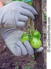 verde, ramo, mani, guanti, presa, pomodori
