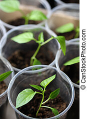 verde, seedling, crescendo, saída, de, solo