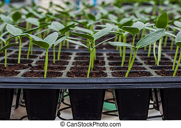 verde, seedling, pepino, bandeja