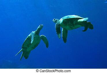verde, tartarugas mar, tocando