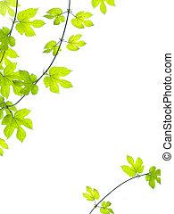 verde, videira, folhas, fundo
